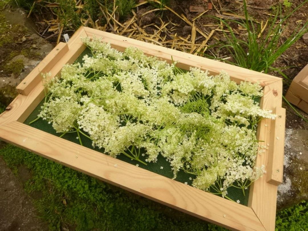 Drying elderflowers
