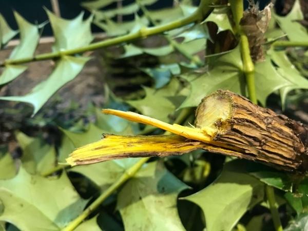 Bark from stem of Berberis aquifolium