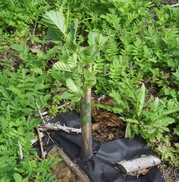 young alder plant
