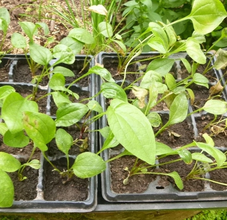 Echinacea seedlings