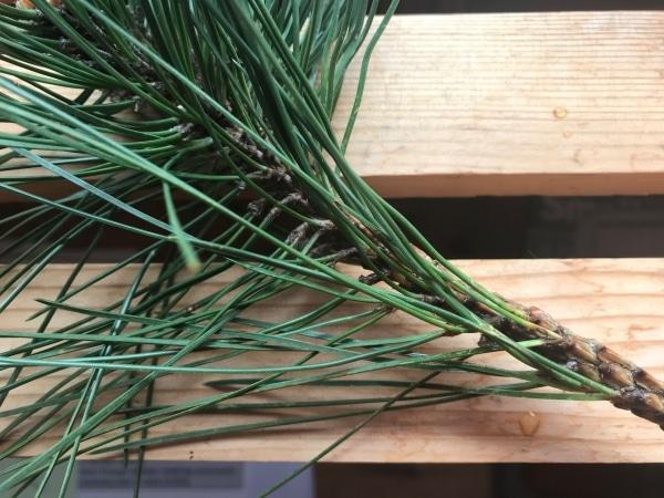 Needles of Scots pine