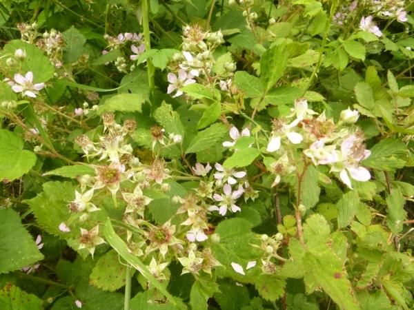 Blackberry flowers and unripe fruit