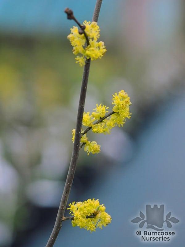 Spice bush flowers