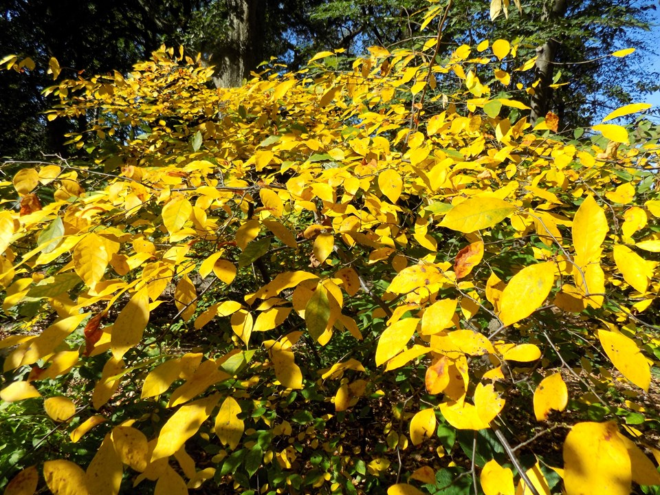 Yellow leaves of spice bush in autumn