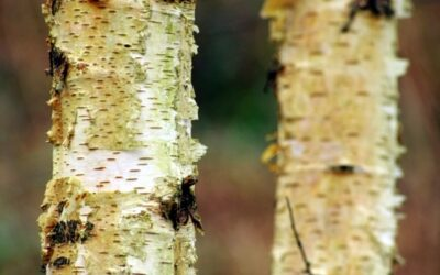 Medicinal trees and bark harvesting